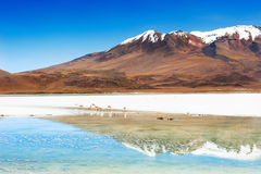 Pink flamingo on the Celeste lagoon, Altiplano, Bolivia Royalty Free Stock Images