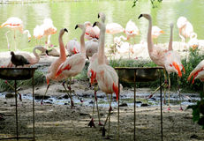 Pink flamingo in city park Royalty Free Stock Photos