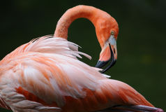 Pink flamingo is cleaning its' feathers. Pink flamingo portrait : he is cleaning its' feathers royalty free stock photos