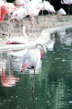 Pink flamingo. The pink flamingo cleans feathers, standing on one foot Royalty Free Stock Photos