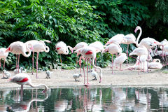 Pink flamingo. The pink flamingo cleans feathers, standing on one foot stock photos