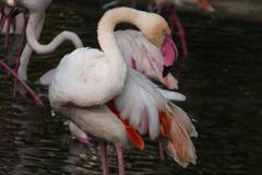 Pink Flamingo cleans feathers stock photo