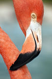 Pink flamingo close up. Royalty Free Stock Photography