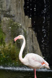 Pink flamingo. Stock Images