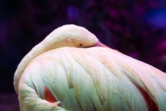 Pink Flamingo close-up abstract background royalty free stock image