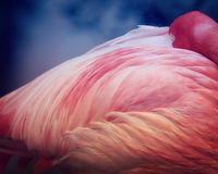 Pink Flamingo close up Royalty Free Stock Images