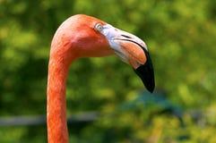Pink Flamingo Royalty Free Stock Photo