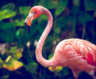 Pink Flamingo. Close-up in Singapore zoo Royalty Free Stock Photo