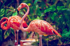 Pink Flamingo. Close-up in Singapore zoo Royalty Free Stock Photography