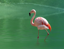 Pink flamingo. Close up , in the water Royalty Free Stock Image