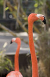 Pink flamingo closeup. A closeup on a pink flamingo as it looks into the distance. Another flamingo is in the background Royalty Free Stock Photo