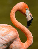 Pink flamingo. Closeup exotic pink flamingo bird Royalty Free Stock Images