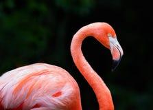 Pink flamingo. A closeup of a pink flamingo at zoo Royalty Free Stock Image