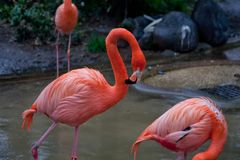A couple of bright red flamingo birds Phoenicopterus ruber in love Stock Photos