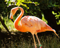 Pink flamingo colony specimen Royalty Free Stock Image