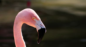 Pink Flamingo with copy space Stock Image