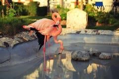 Pink flamingo couple Royalty Free Stock Image