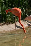Pink Flamingo drinking water Stock Image
