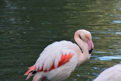 Rose Flamingo in the lake royalty free stock photos