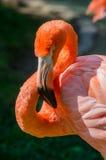 Pink Flamingo Face Royalty Free Stock Photos