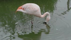 Pink flamingo filtering water for algae. stock footage