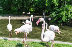Pink flamingo. Flock of flamingos in Zoo Park. Spring time and blossom Stock Photography