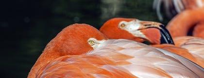 Pink Flamingo in Florida Royalty Free Stock Image