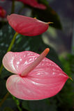 Pink flamingo flower Stock Photos