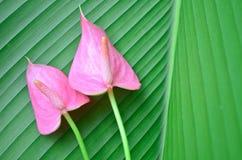 Pink flamingo flowers Stock Image