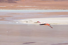 Pink flamingo flying over salt lake on the Bolivian Andes Stock Photos