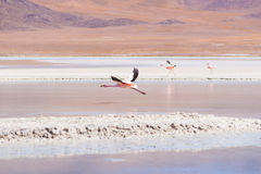 Pink flamingo flying over salt lake on the Bolivian Andes Stock Image