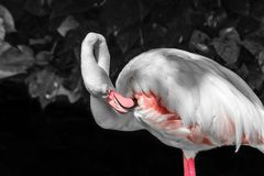Pink flamingo in front of black and white rainforest foliage background.  stock photo