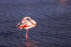 The pink flamingo going to sleep Stock Images
