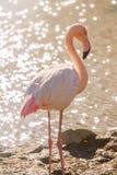 Pink Flamingo, Greater flamingo in their natural environment Phoenicopterus roseus. Wildlife stock photos