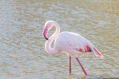 Pink Flamingo, Greater flamingo in their natural environment Phoenicopterus roseus. Wildlife stock image