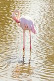 Pink Flamingo, Greater flamingo in their natural environment Phoenicopterus roseus. Wildlife royalty free stock photography