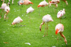 Pink flamingo on a green lawn Stock Photography