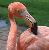Pink flamingo Grooming Stock Images