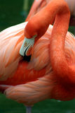 Pink flamingo grooming herself