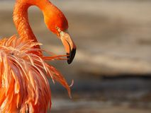 Pink Flamingo Grooming at Sunset Royalty Free Stock Photos