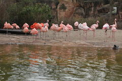 Pink flamingo. Group of pink flamingos Stock Image