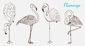 Pink flamingo. Hand drawn vector birds, sketch graphic vintage style, phoenicopteridae. Tropical animal. Stock Images