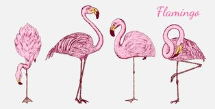 Pink flamingo. Hand drawn vector birds, sketch graphic vintage style, phoenicopteridae. Tropical animal. Royalty Free Stock Photos