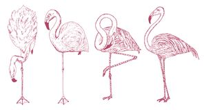 Pink flamingo. Hand drawn vector birds, sketch graphic vintage style, phoenicopteridae. Tropical animal. Royalty Free Stock Images