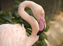 Pink flamingo head Royalty Free Stock Photography