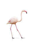 Pink flamingo isolated on white Stock Photo