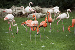 Pink flamingo. At the jerusalem zoo stock image