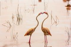 Pink flamingo. Kenya. Second Edition. Pink flamingo. Nakuru, Kenya. Second Edition Royalty Free Stock Photos
