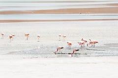 Pink flamingo in the lagoon, Altiplano, Bolivia. Stock Image