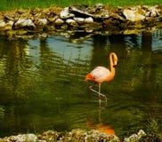 Pink Flamingo in lagoon Stock Image